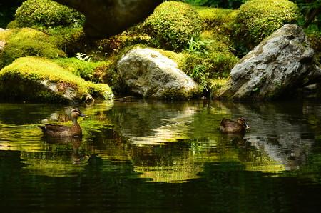 緑を泳ぐ鴨