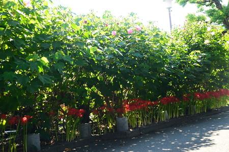芙蓉の下に咲く彼岸花
