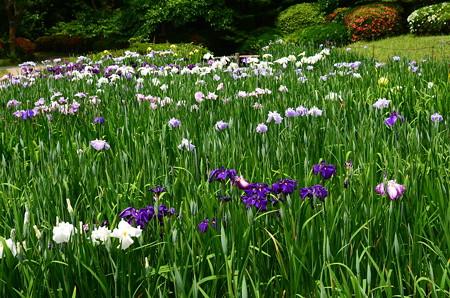 咲き始めた花菖蒲園