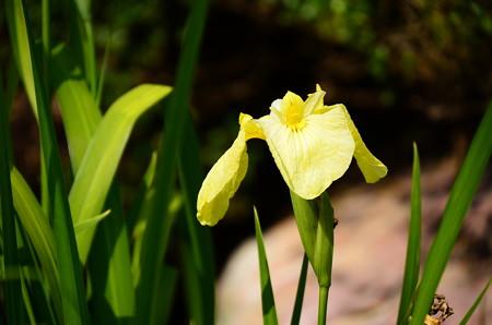 黄色の花菖蒲