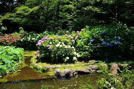 満開の紫陽花園~