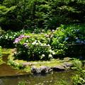 写真: 満開の紫陽花園~