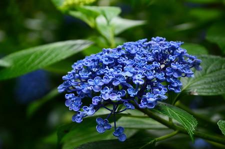 青いお多福~