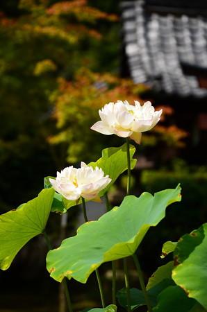 錦旗(ニシキハタ)