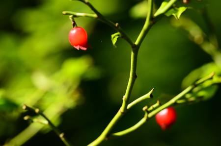 臼の木(ウスノキ)