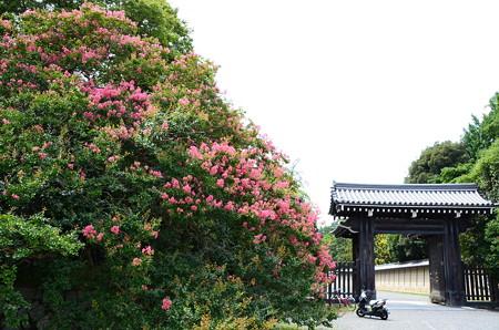 寺町御門脇の百日紅(サルスベリ)