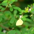 Photos: 萩に黄蝶