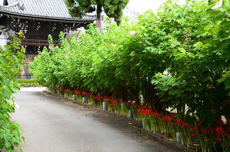 彼岸花と芙蓉の妙蓮寺