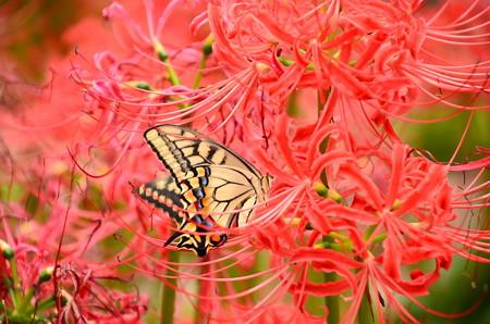 彼岸花の中の黄揚羽(キアゲハ)