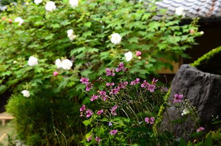 酔芙蓉の前の秋明菊