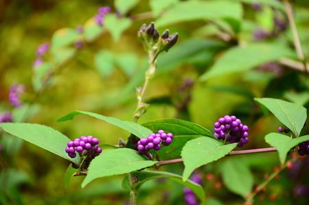 小紫と杜鵑の蕾