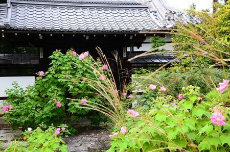 芙蓉と薄咲く天寧寺