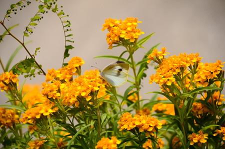 ミントマリーゴールドに止まる紋白蝶(モンシロチョウ)