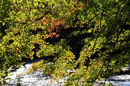 八瀬川の燦めきと色付き始めたもみじ