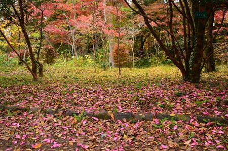 散り山茶花と紅葉