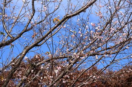 満開の御会式桜