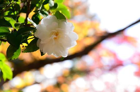 神光院の山茶花(サザンカ)