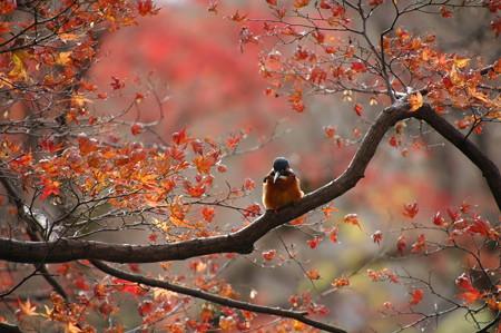 翡翠の紅葉見物