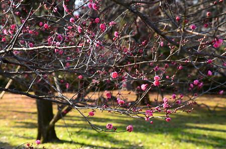 京都御苑の紅梅