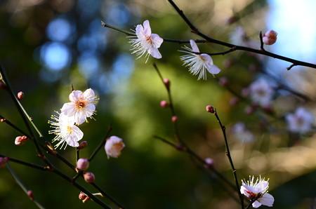 源氏の庭の梅