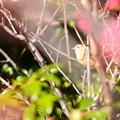 写真: 紅梅の中のジョビちゃん~