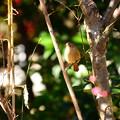 写真: 梅の中のジョビちゃん