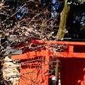 写真: 赤い鳥居と白梅