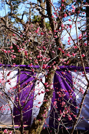 紫の幕と紅梅