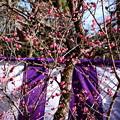 写真: 紫の幕と紅梅