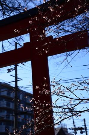鳥居と十月桜(ジュウガツザクラ)