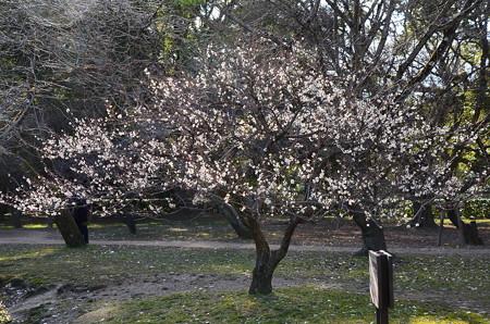 白梅の燦めき