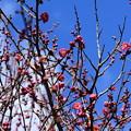 写真: 桜鏡(サクラカガミ)