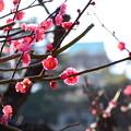 Photos: 紅梅と~