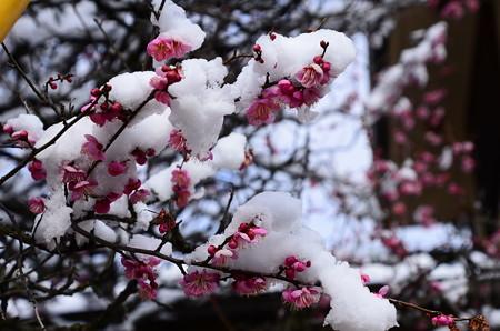 雪帽子の紅梅~