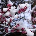 写真: 雪帽子の紅梅~