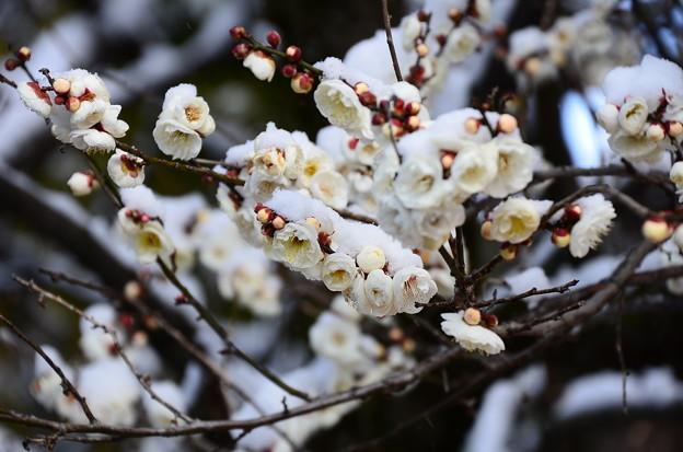 写真: 雪を被る白梅