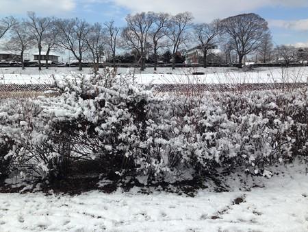 雪の花咲く雪柳(ユキヤナギ)