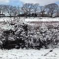 写真: 雪の花咲く雪柳(ユキヤナギ)