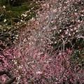 写真: 藤牡丹枝垂(フジボタンシダレ)