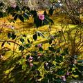 写真: 百花苑の有楽椿