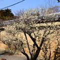 写真: 参道の白梅