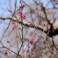 写真: 百花苑の紅梅
