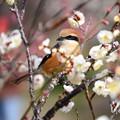 写真: 白梅の中の百舌(モズ)