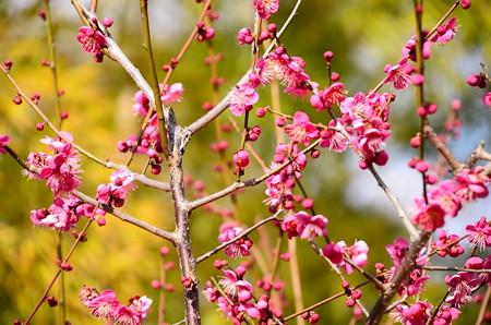 竹藪の前の紅梅