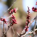 写真: 蕾膨らむ黒木の梅