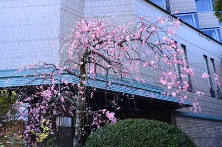ホテルと枝垂れ梅