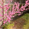 写真: 六孫王神社の梅