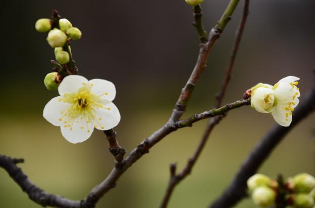 写真: 緑萼梅(リョクガクバイ)?