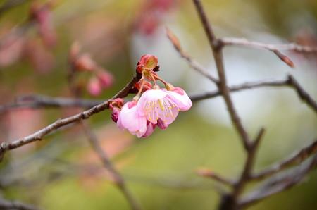 百万遍・知恩寺の桜