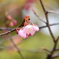 写真: 百万遍・知恩寺の桜